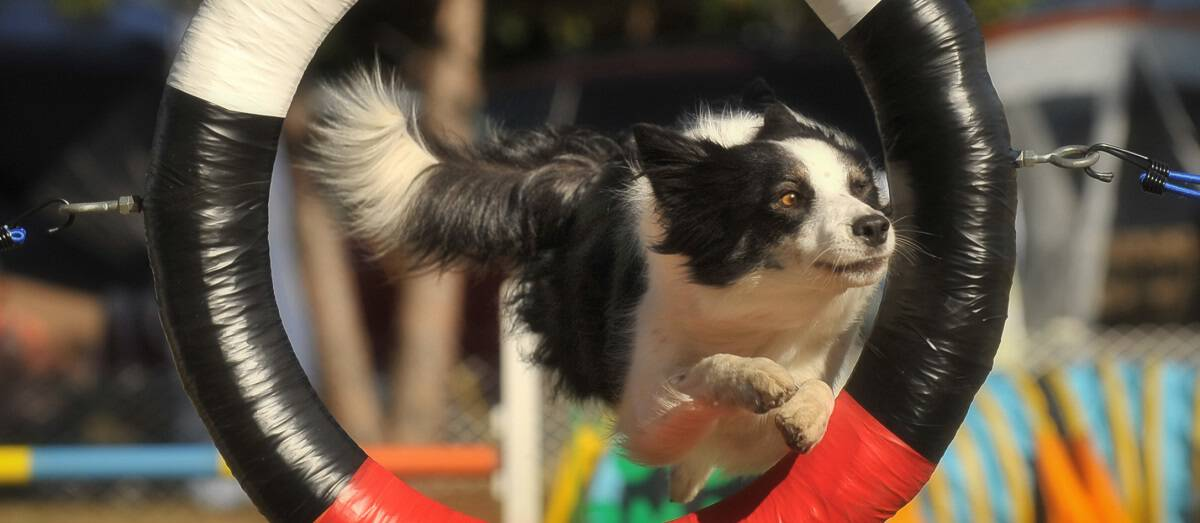 Dog jumping through tire jump.